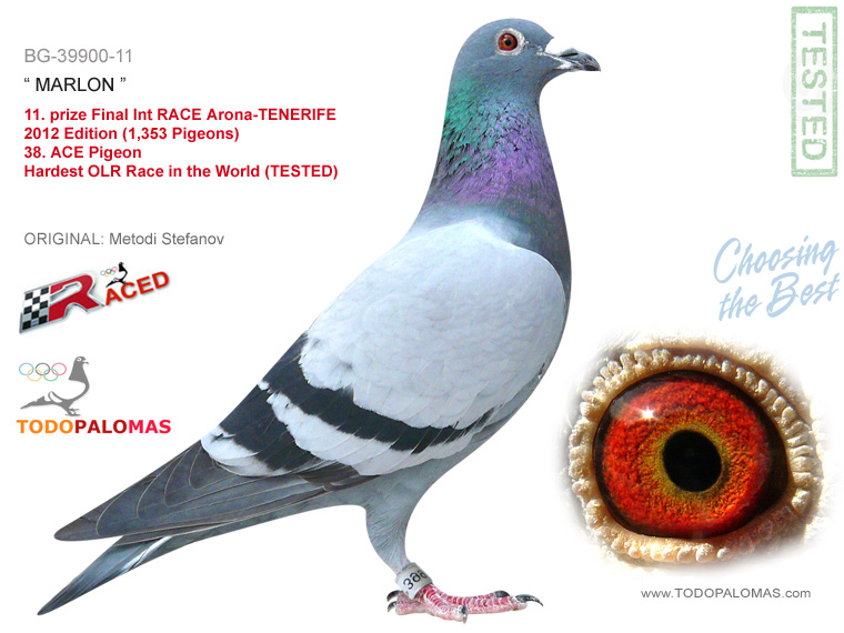 11. prize Final Int RACE Arona-TENERIFE 2012 Edition (1,353 Pigeons) - Hardest OLR Race in the World (TESTED)