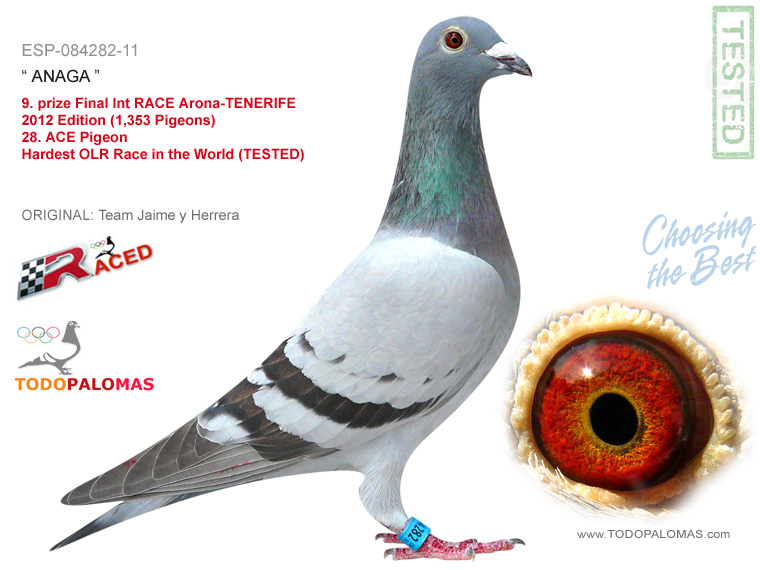 9. prize Final Int RACE Arona-TENERIFE 2012 Edition (1,353 Pigeons) - Hardest OLR Race in the World (TESTED)
