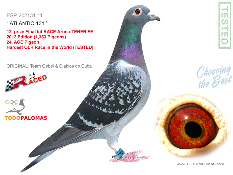 12. prize Final Int RACE Arona-TENERIFE 2012 Edition (1,353 Pigeons) - Hardest OLR Race in the World (TESTED)