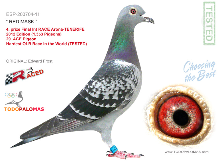 4. prize Final Int RACE Arona-TENERIFE 2012 Edition (1,353 Pigeons) - Hardest OLR Race in the World (TESTED)