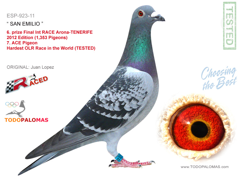 6. prize Final Int RACE Arona-TENERIFE 2012 Edition (1,353 Pigeons) - Hardest OLR Race in the World (TESTED)