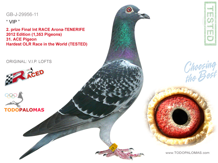 2. prize Final Int RACE Arona-TENERIFE 2012 Edition (1,353 Pigeons) - Hardest OLR Race in the World (TESTED)