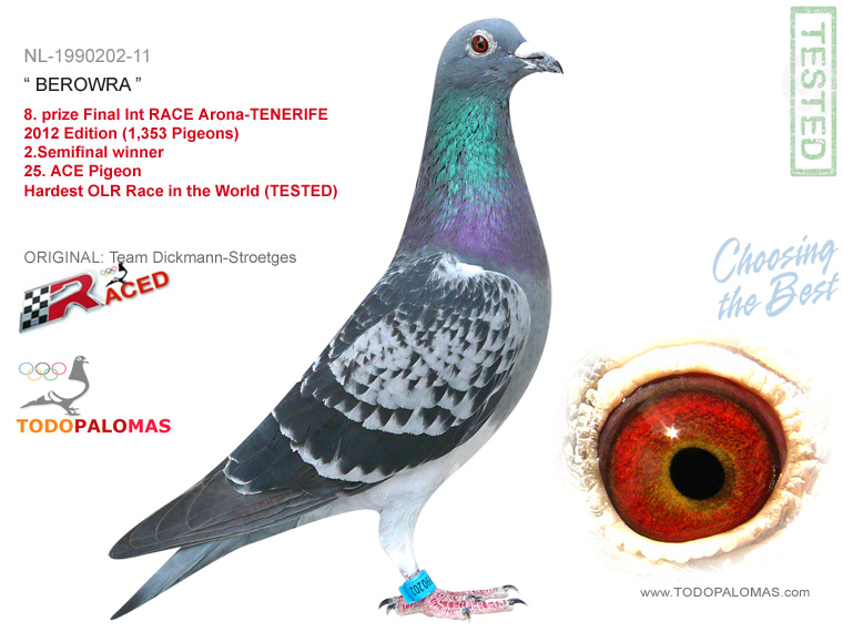 8. prize Final Int RACE Arona-TENERIFE 2012 Edition (1,353 Pigeons) 2.Semifinal winner - Hardest OLR Race in the World (TESTED)