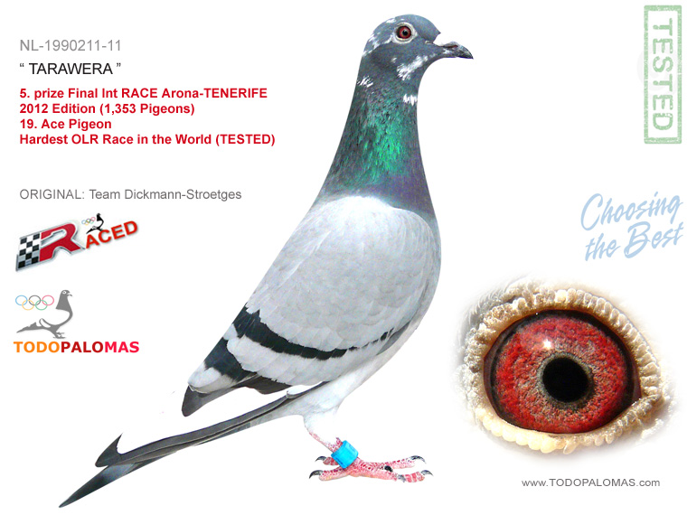 5. prize Final Int RACE Arona-TENERIFE 2012 Edition (1,353 Pigeons) - 15. Ace Pigeon - Hardest OLR Race in the World (TESTED)