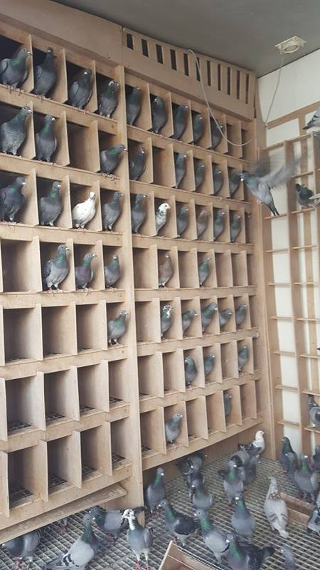 The second UK shipment consisting of 200 pigeons settling in well